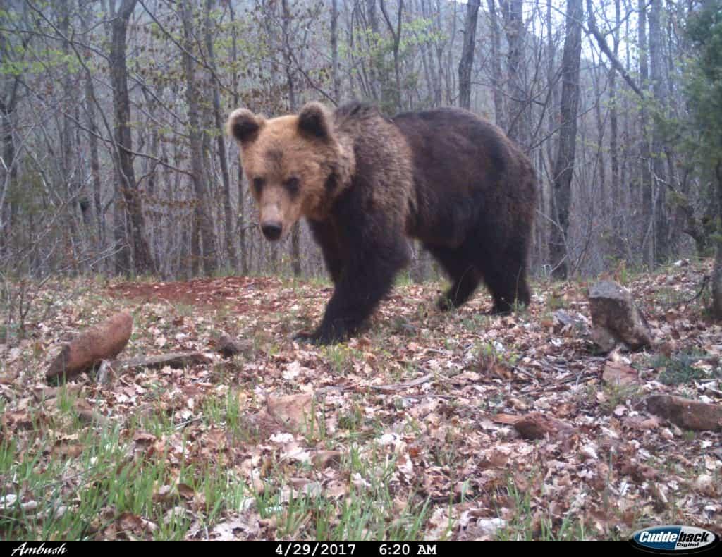 Brown bear | Photo: Shebenik-Jabllanicë National Park