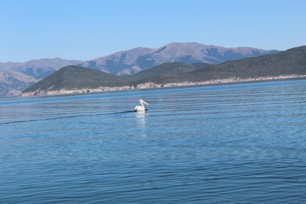 Dalmatian Pelican on Prespa Lake | Photo: Prespa National Park
