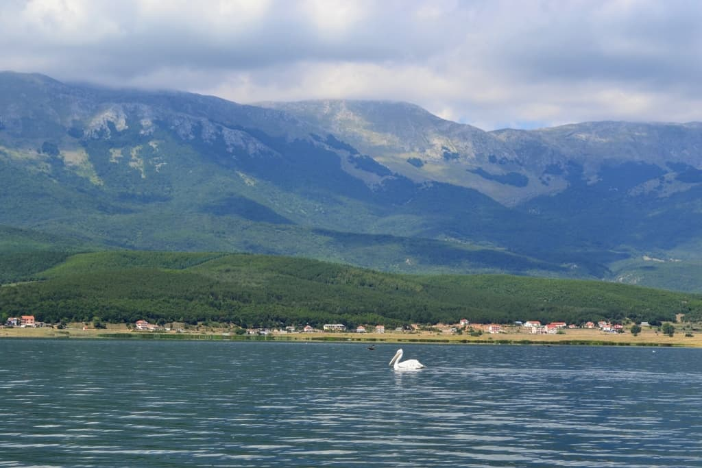 Pelican | Photo: Prespa National Park