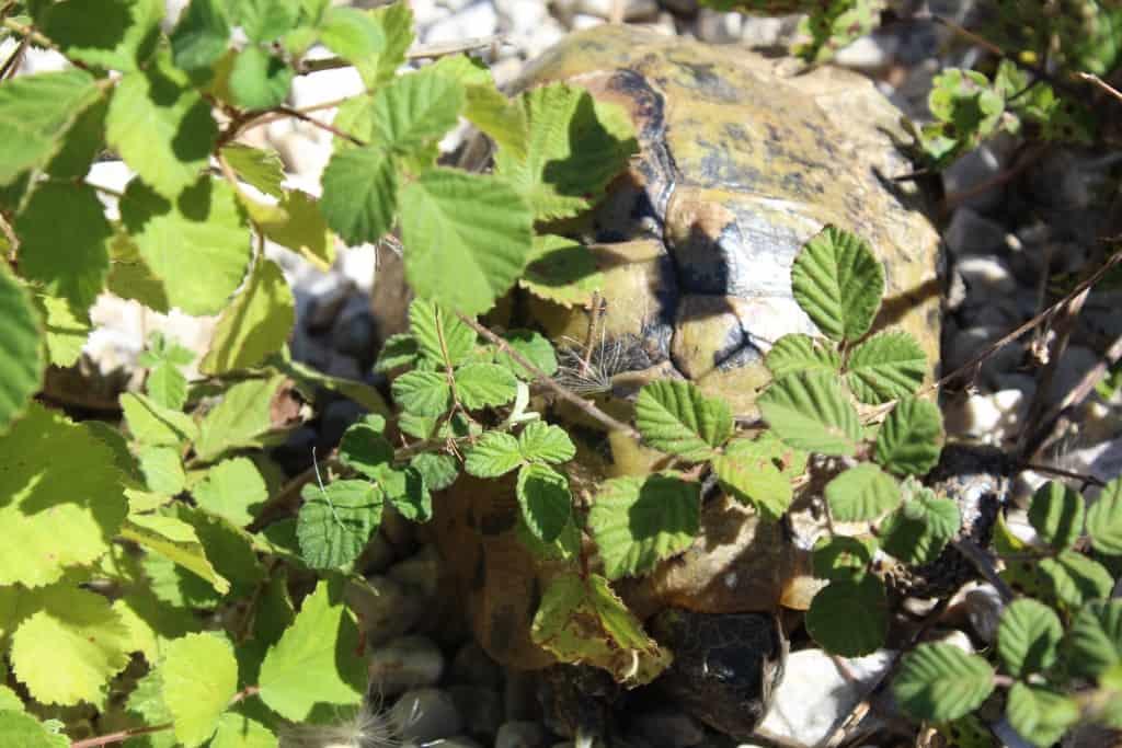 Landschildkröte | Foto: Nationalpark Prespa